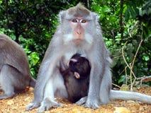 Macacos indonésios em Bali fotografia de stock