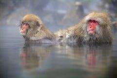 Macacos japoneses da neve Imagem de Stock