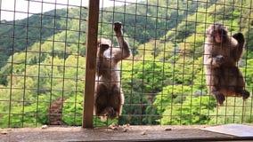 Macacos japoneses engraçados video estoque