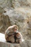macacos japoneses selvagens da preparação em Beppu, Oita Imagens de Stock Royalty Free