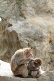 macacos japoneses selvagens da preparação em Beppu, Oita Foto de Stock Royalty Free