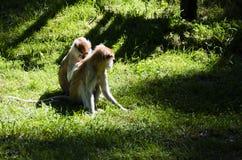 Macacos, jardim zoológico de Olomouc Fotos de Stock Royalty Free