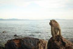 Macacos na costa rochosa Foto de Stock