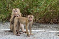 Macacos na floresta Fotografia de Stock Royalty Free