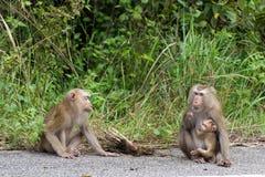 Macacos na floresta Fotos de Stock