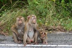 Macacos na floresta Fotografia de Stock