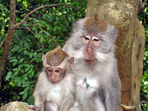 Macacos na floresta Bali foto de stock