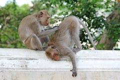 Macacos na natureza Foto de Stock