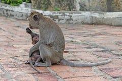 Macacos na natureza Fotos de Stock Royalty Free