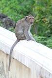 Macacos na natureza Imagens de Stock
