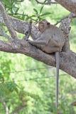 Macacos na natureza Foto de Stock Royalty Free