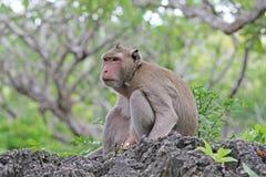 Macacos na natureza Fotografia de Stock Royalty Free