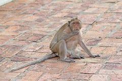Macacos na natureza Fotografia de Stock