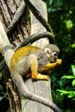 Macacos no jardim bot?nico de Singapura fotografia de stock royalty free