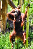Macacos no jardim zoológico de Melbourne Fotografia de Stock