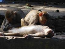 Macacos no templo de Chandi Imagem de Stock Royalty Free