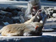 Macacos no templo de Chandi Fotos de Stock Royalty Free