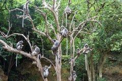 Macacos obscuros da folha na árvore Imagem de Stock Royalty Free