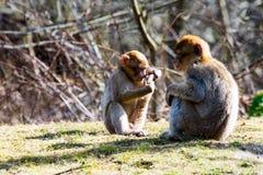 Macacos pequenos do berber no prado Imagem de Stock