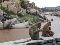 Macacos por um rio Fotos de Stock Royalty Free