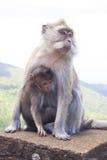 Macacos que jogam no templo em Maurícias Imagens de Stock Royalty Free
