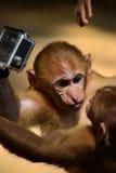 Macacos que lutam por uma câmera Foto de Stock
