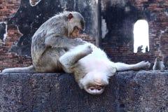 Macacos que procuram a pulga Fotografia de Stock