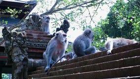 Macacos que riscam, comendo, escalando e sentando-se em uma cerca de pedra cinzelada do templo filme