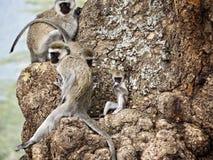 Macacos que sentam-se em uma árvore Imagem de Stock Royalty Free