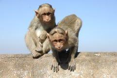 Macacos que sentam-se em uma parede Fotografia de Stock