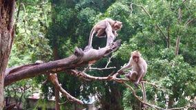 Macacos que sentam-se na árvore Imagens de Stock Royalty Free