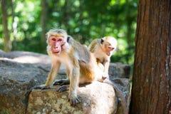 Macacos que sentam-se na pedra, templo de buddha em Ceilão Imagem de Stock Royalty Free