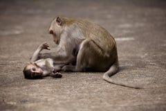 Macacos que verific para ver se há pulga e tiquetaques fotografia de stock