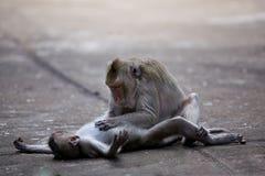 Macacos que verific para ver se há pulga e tiquetaques fotografia de stock royalty free