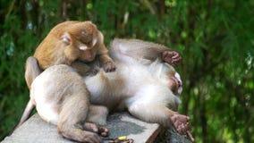 Macacos que verificam para ver se há pulga video estoque