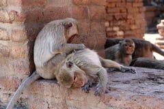 Macacos que verificam para ver se há pulga e tiquetaques no local arqueológico, prang Sam Yot de Phra três prangs santamente em L imagens de stock