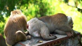 Macacos que verificam-se para ver se há pulga vídeos de arquivo