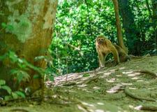 Macacos que vivem naturalmente fotografia de stock royalty free