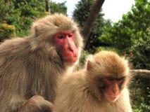 Macacos selvagens em Japão   fotos de stock royalty free