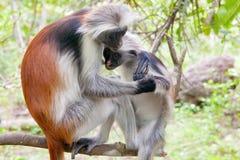 Macacos vermelhos do colobus (kirki de Piliocolobus) Fotografia de Stock Royalty Free