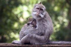 Macacque con il bambino Fotografia Stock Libera da Diritti