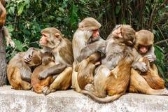 Macacus monkeys прожитие в виске Swayambu Nath, Катманду, n стоковое фото rf