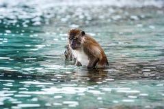 Macacus-Schwimmen für Lebensmittel vom Touristen im Affe-Strand, Phi Phi Island, Thailand Lizenzfreie Stockfotografie