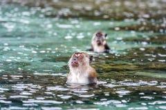 Macacus-Schwimmen für Lebensmittel vom Touristen im Affe-Strand, Phi Phi Island, Thailand Lizenzfreie Stockbilder