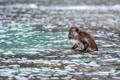 Macacus-Schwimmen für Lebensmittel vom Touristen im Affe-Strand, Phi Phi Island, Thailand Lizenzfreies Stockfoto