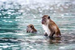 Macacus-Schwimmen für Lebensmittel vom Touristen im Affe-Strand, Phi Phi Island, Thailand Lizenzfreies Stockbild
