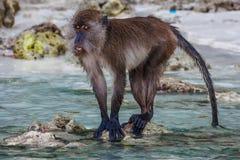 Macacus-Schwimmen für Lebensmittel von den Touristen im Affe-Strand, Phi Phi Island, Thailand Lizenzfreie Stockbilder