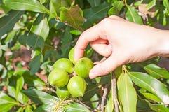 Macadamia Royalty-vrije Stock Fotografie