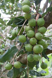 macadamia Imagen de archivo libre de regalías