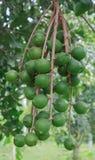 macadamia Fotos de archivo
